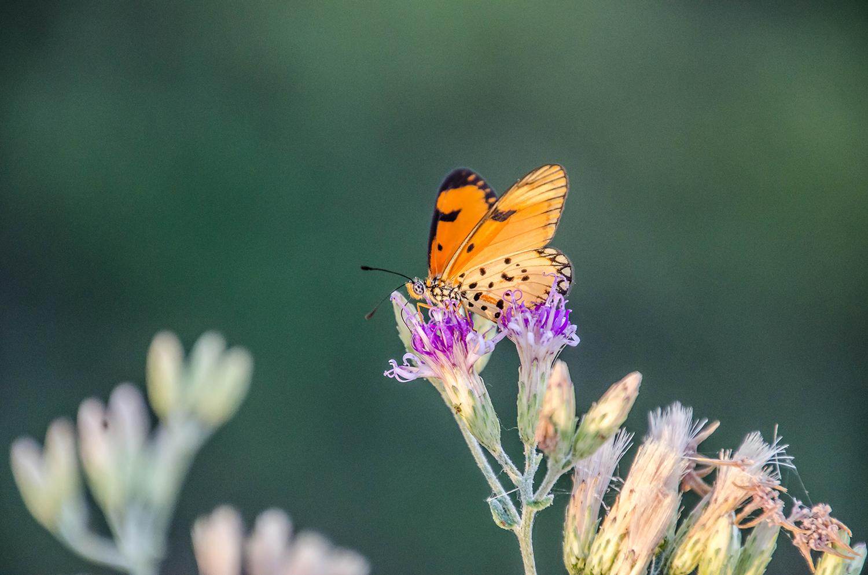 Butterfly, Ruaha National Park
