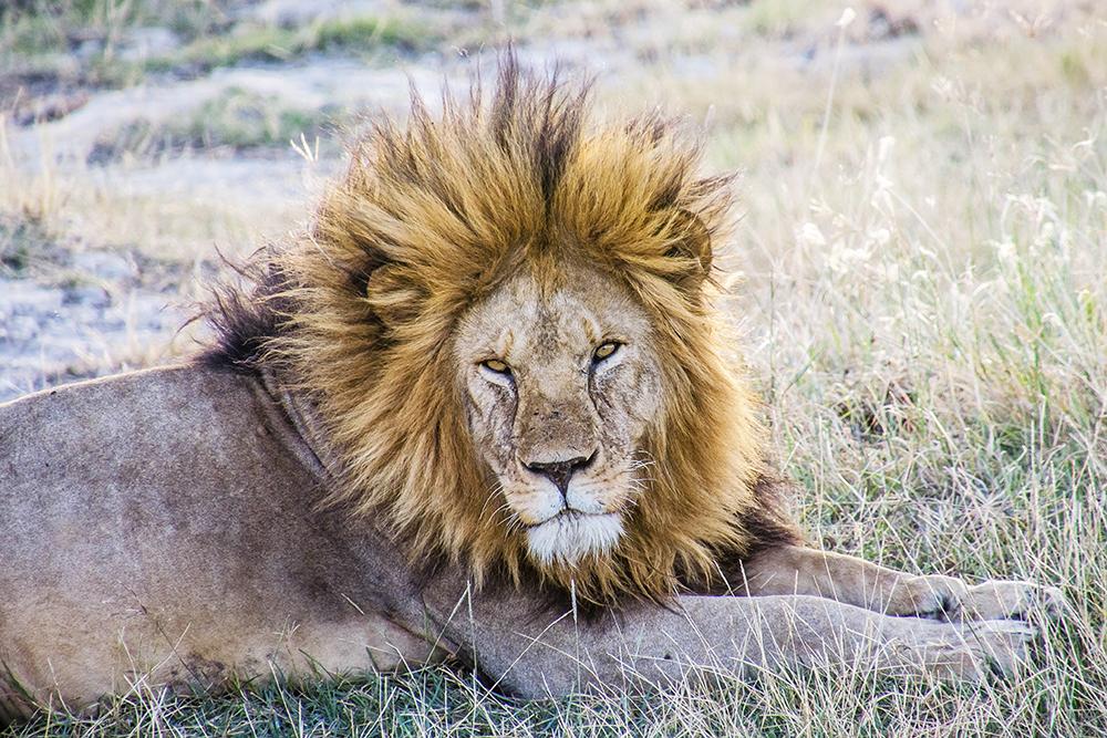 Lion, Serengeti National Park