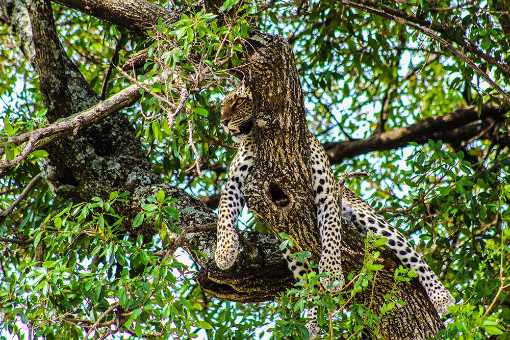 Leopard in central Serengeti, Tanzania by Richard